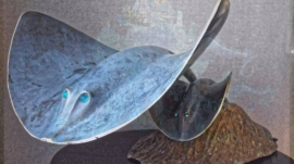 A376 raies manta